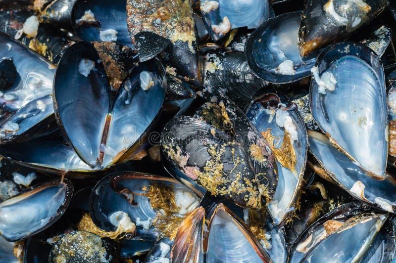 Feche acima dos shell frescos abertos do mexilhão imagens de stock