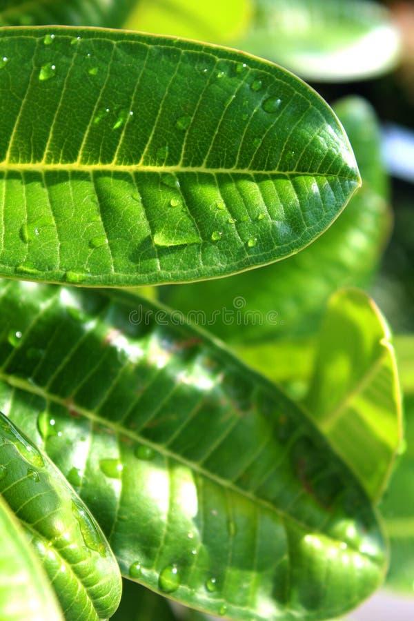 Feche acima dos waterdrops da folha verde fresca fotos de stock