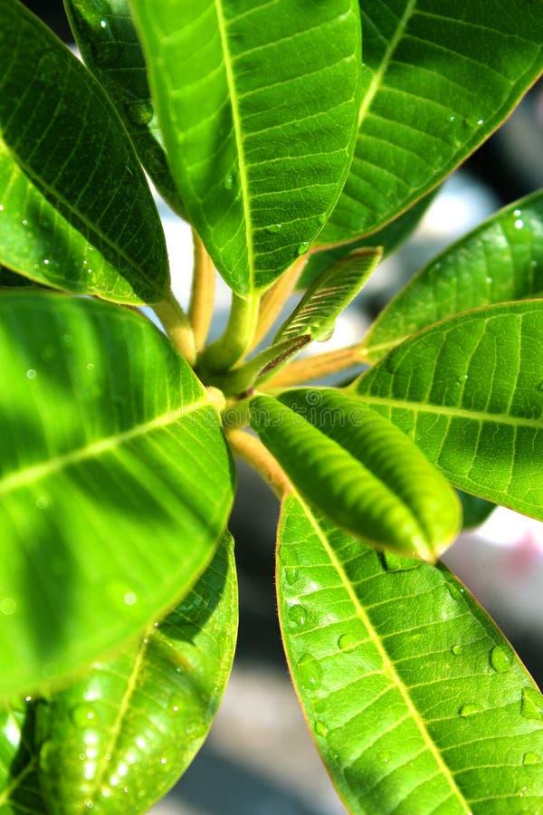 Feche acima dos waterdrops da folha verde fresca fotografia de stock royalty free