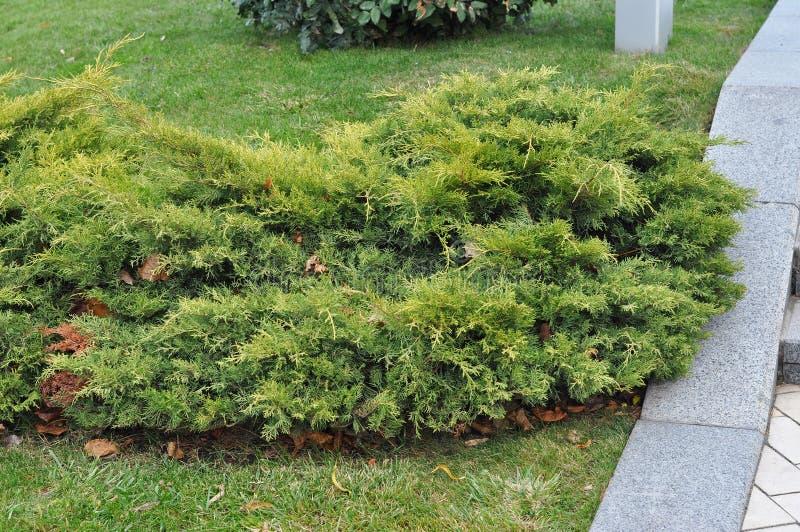 Feche acima em Bush do zimbro, a planta conífera sempre-verde com escala-como as folhas fotos de stock