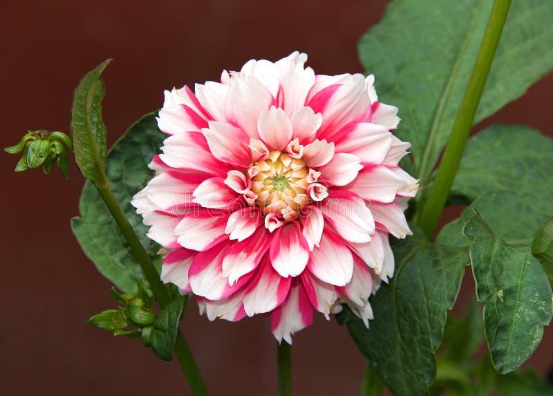 Feche acima em uma flor da dália, cor-de-rosa e branco brilhantes imagens de stock