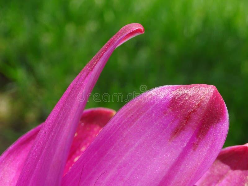feche acima em uma pétala cor-de-rosa da flor fotografia de stock royalty free