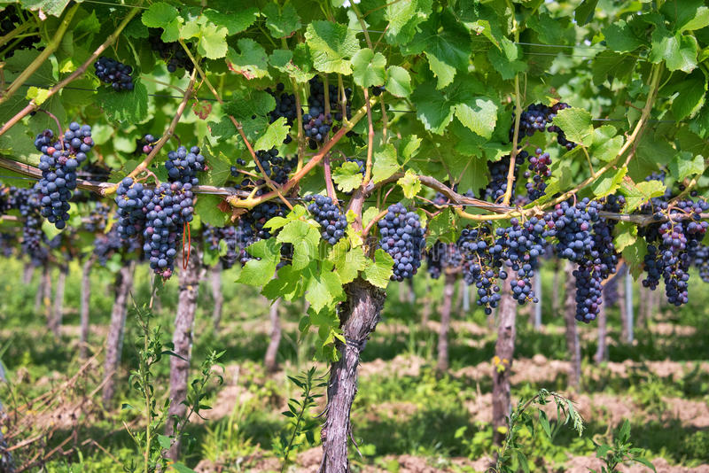 Feche acima em uvas pretas vermelhas fotografia de stock