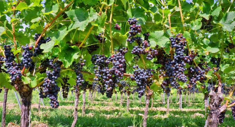 Feche acima em uvas pretas vermelhas imagens de stock royalty free