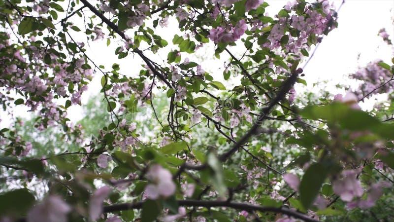 Feche acima florescendo as árvores de maçã brancas e cor-de-rosa, natureza no tempo de mola Metragem conservada em estoque Flores imagens de stock