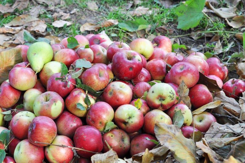 Feche acima na colheita da maçã do jardim fotografia de stock royalty free