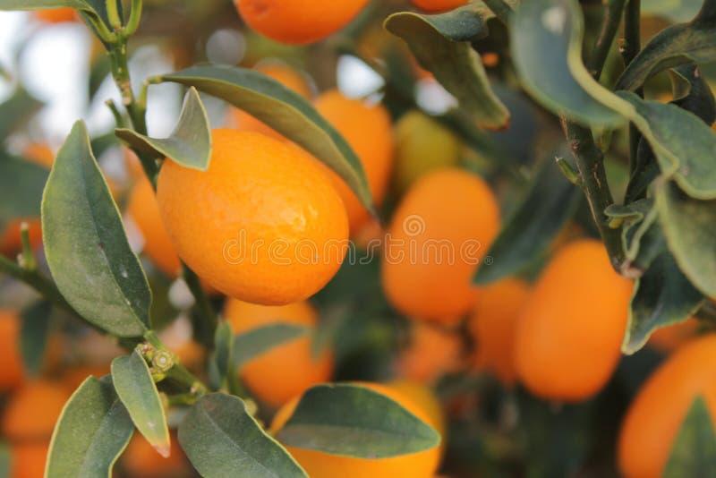 Feche acima no kumquat alaranjado fotos de stock