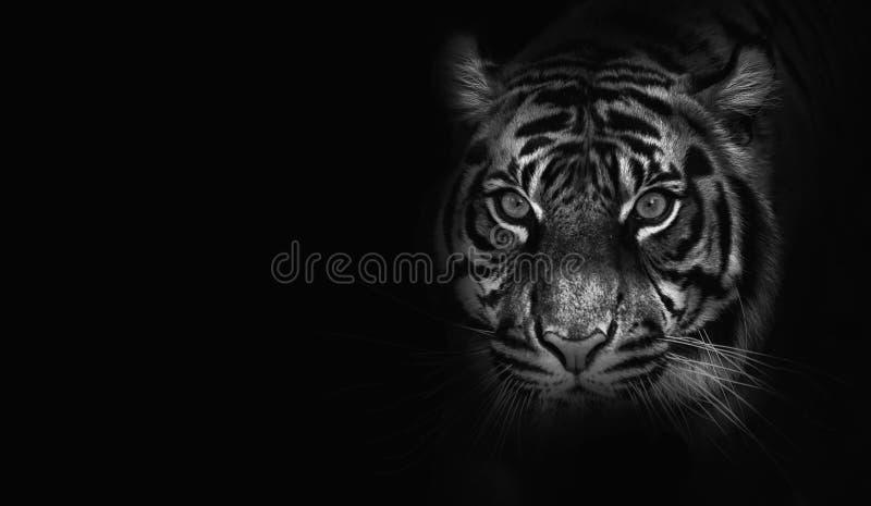 Feche acima no tigre, fundo preto, preto e branco fotografia de stock