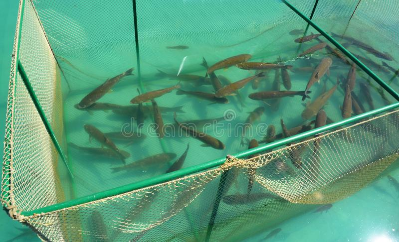 Feche acima nos peixes do idella de Ctenopharyngodon da carpa da grama na gaiola para a piscicultura Piscicultura fotos de stock