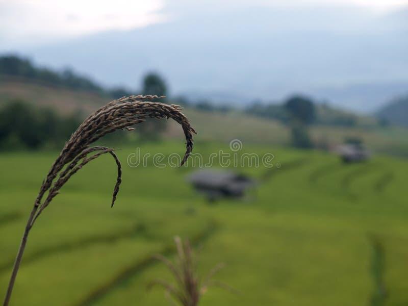 Feche acima o arroz com campo verde borrado do arroz fotos de stock royalty free