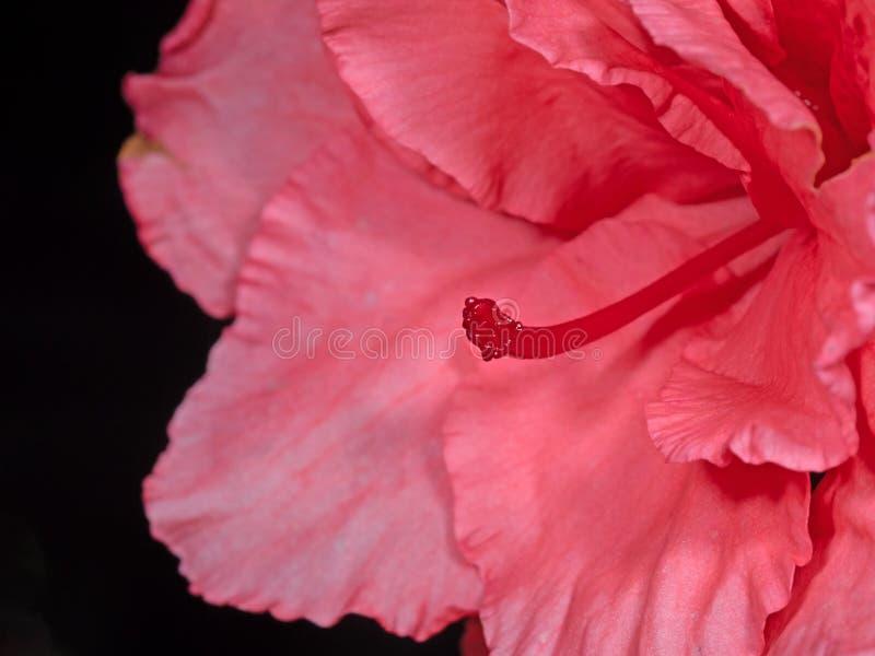 Feche acima o estigma de Azalea Flower Isolated cor-de-rosa no fundo preto imagem de stock royalty free