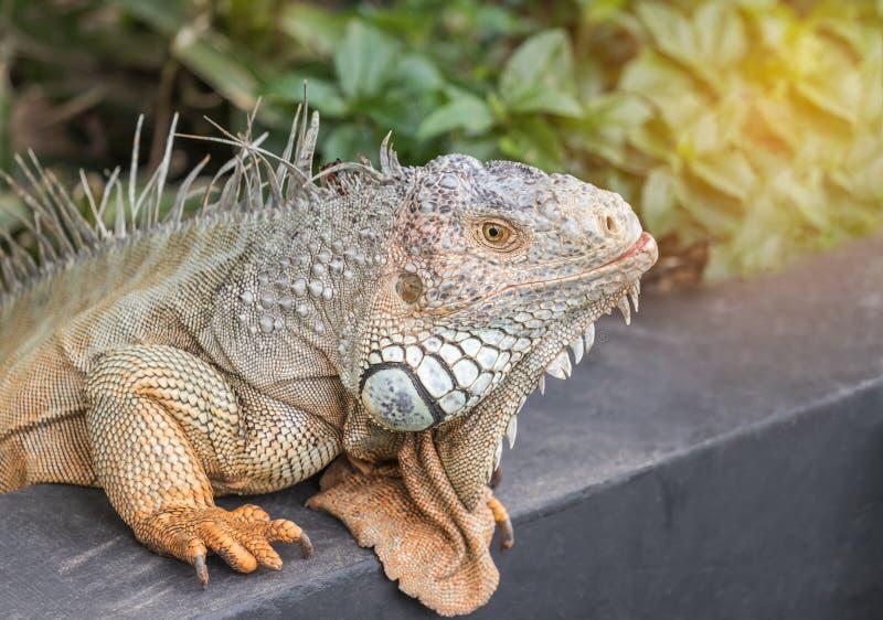Feche acima réptil do lagarto da iguana da iguana da iguana do verde do retrato do grande imagens de stock