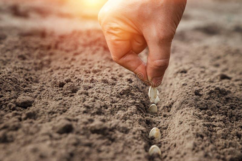 Feche as mãos do fazendeiro, plantando sementes na primavera O conceito do jardim, o início da temporada, a casa de verão fotos de stock royalty free