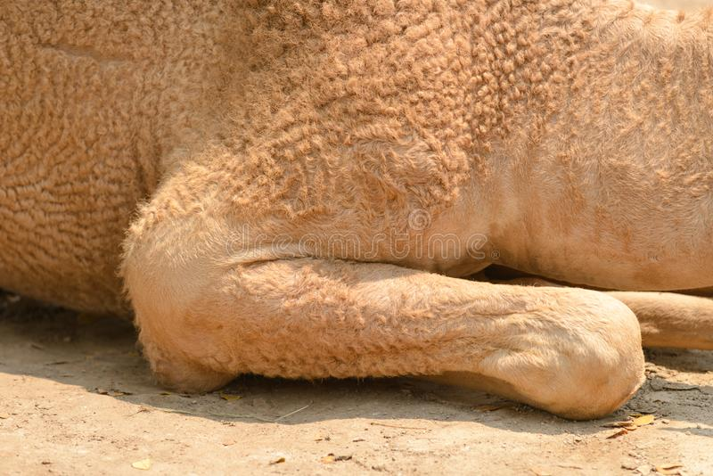 Feche até camelos o pé que senta-se na terra imagens de stock royalty free