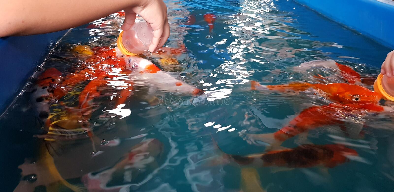 Feche a mão das pessoas que alimentam leite de carpa chique ou peixe koi em aquário ou piscina azul imagens de stock royalty free