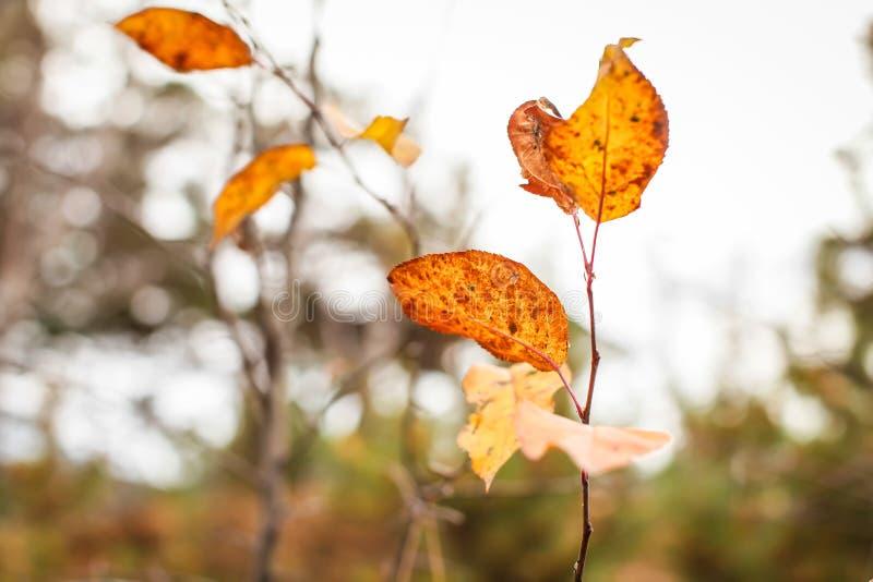 Feche o galho com folhas cor de laranja em foco seletivo, pano de fundo natural do outono fotografia de stock royalty free