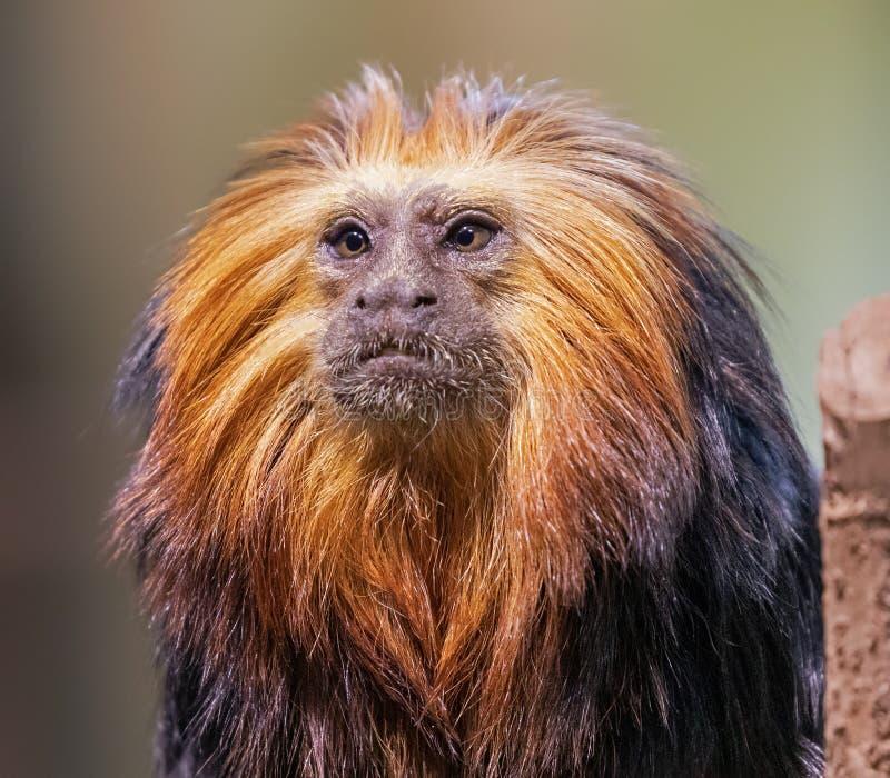 Feche um sagui de leão de cabeça dourada foto de stock royalty free