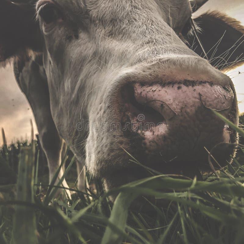 Feche a vaca Montbeliarde foto de stock