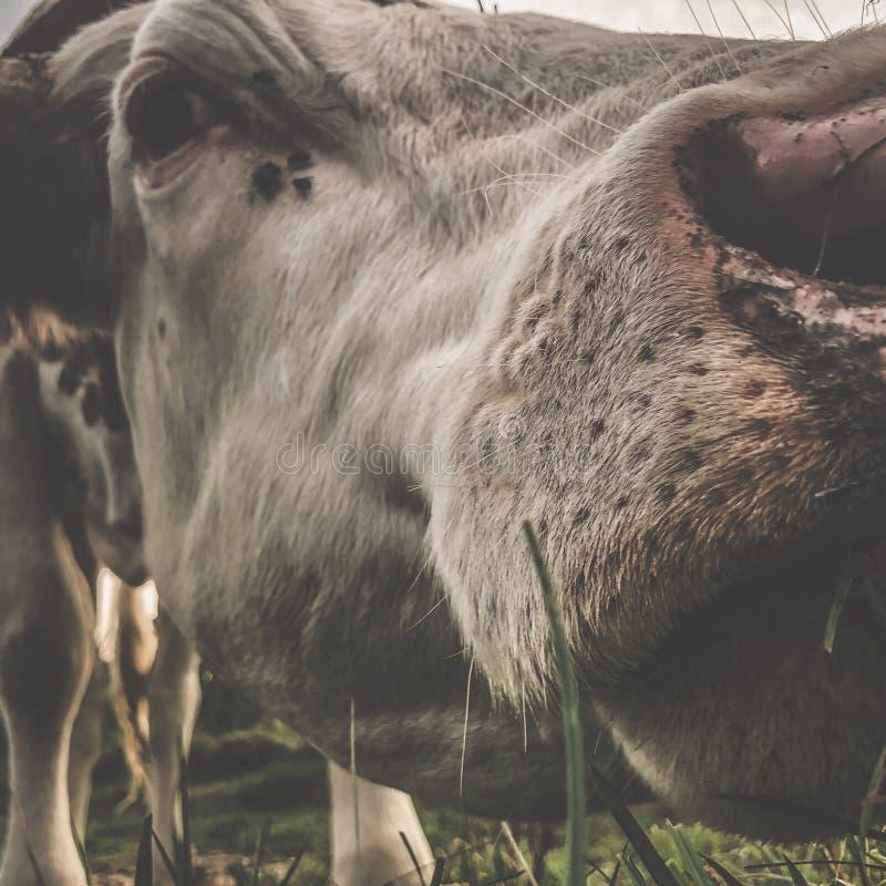 Feche a vaca Montbeliarde imagem de stock royalty free