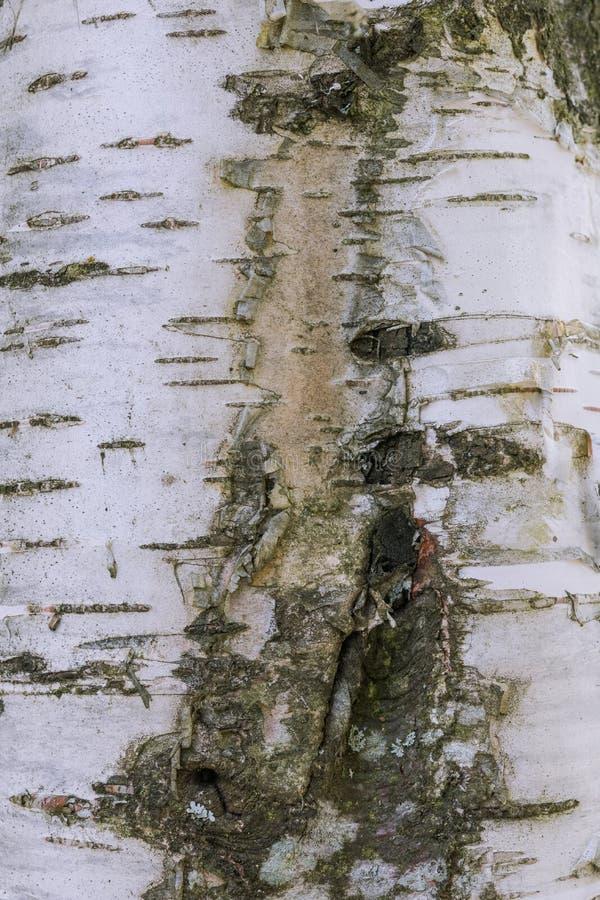 Feche a vista do vidoeiro para a textura do fundo A superfície do córtice como um fundo abstrato A madeira é imagem de stock royalty free