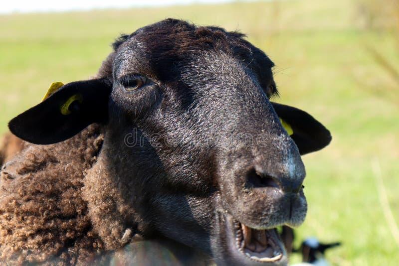 Fecho da face de uma ovelha fotografia de stock