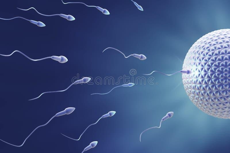 fecundation jajeczna sperma