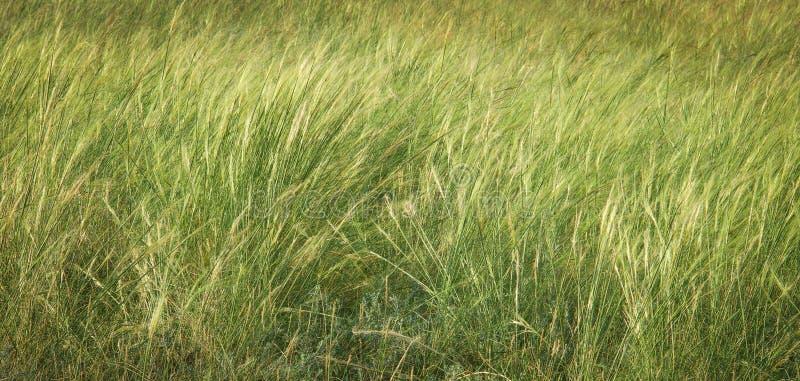 Federgrasfeldabschluß oben Beschaffenheit des grünen Grases Einfacher Hintergrund des Sommers lizenzfreie stockbilder