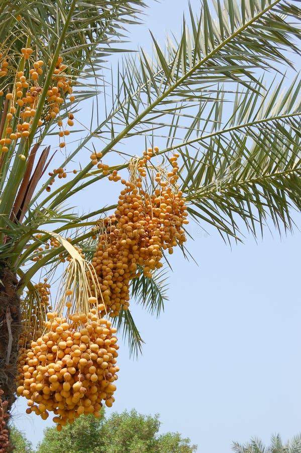 fedrunek daktylowej palmy feniksa fedrunek zdjęcia stock