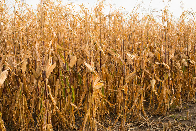 Feed Corn drying in field. Feed Corn drying in the field stock photos