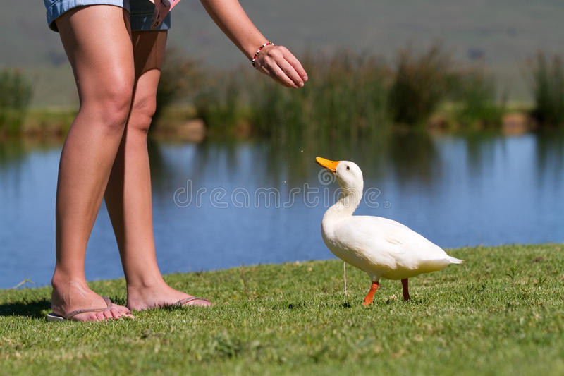 Feed the duck royalty free stock photography
