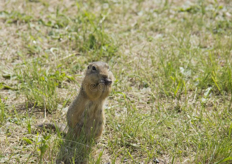 Feed the gophers on the lawn in the city Park.  royalty free stock photo