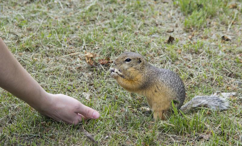 Feed the gophers on the lawn in the city Park.  stock photography