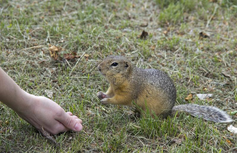 Feed the gophers on the lawn in the city Park.  royalty free stock image