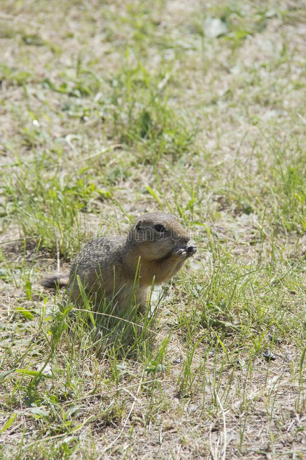 Feed the gophers on the lawn in the city Park.  stock photo