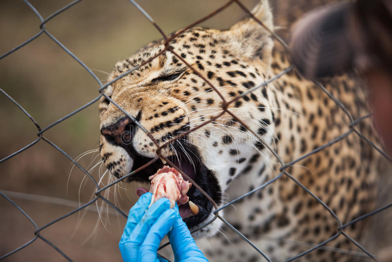 Download Feeding stock photo. Image of animal, feeding, kill, amur - 27270400