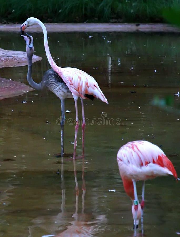 Download Feeding stock image. Image of flamingo, eating, survive - 29595