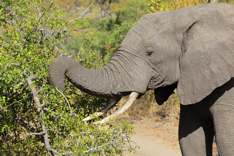 Download Feeding African elephant stock photo. Image of southern - 23043444