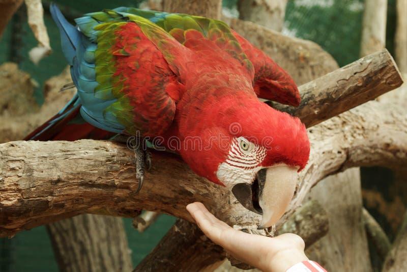 Feeding Ara Macao parrot from the hand royalty free stock photo