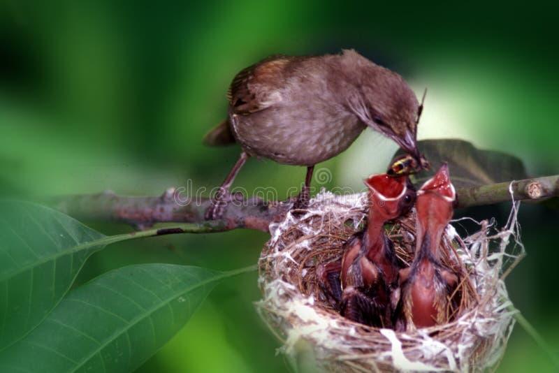 Feeding baby bird. Mother bird feeding her baby children