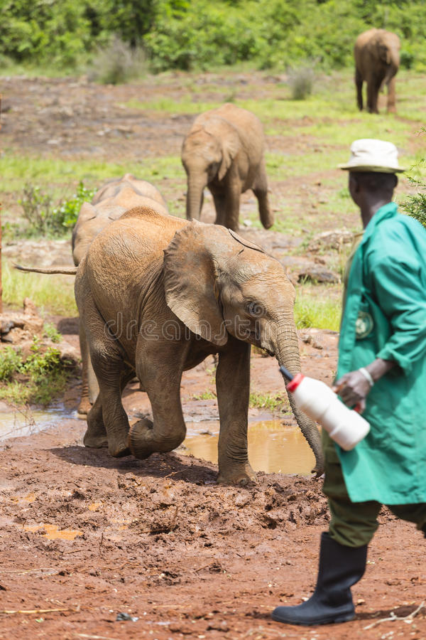 Download Feeding Baby Elephants In Nairobi, Kenya, Editorial Editorial Stock Image - Image: 83701254