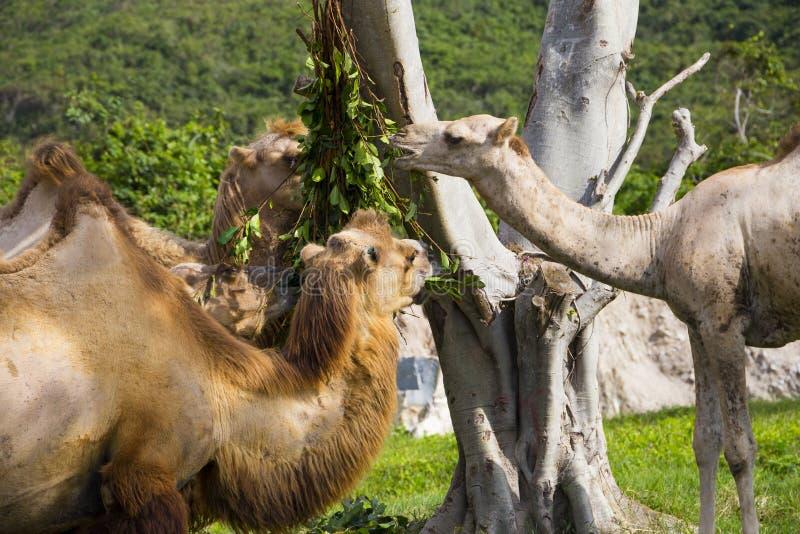 Feeding of beautiful camels royalty free stock photo