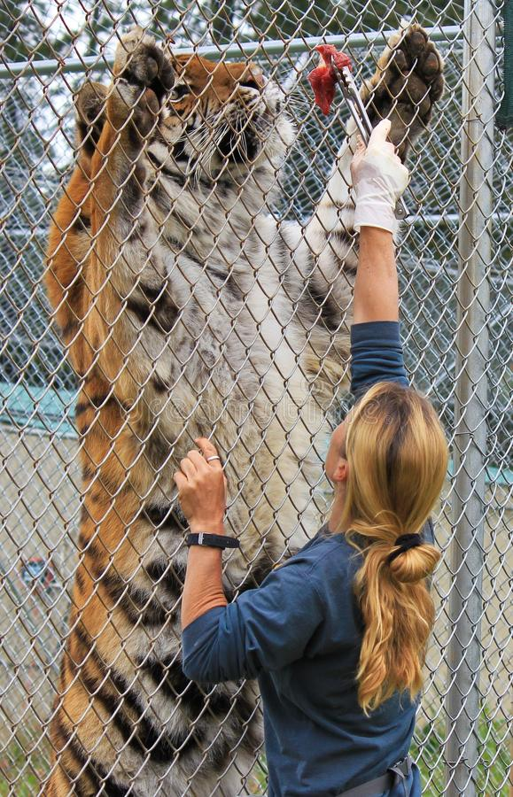 Feeding of Bengal Tiger. Cave Junction, Oregon. The Great Cats World Park. Park worker Farrah Conti is feeding the Bengal Tiger named Samson royalty free stock photo