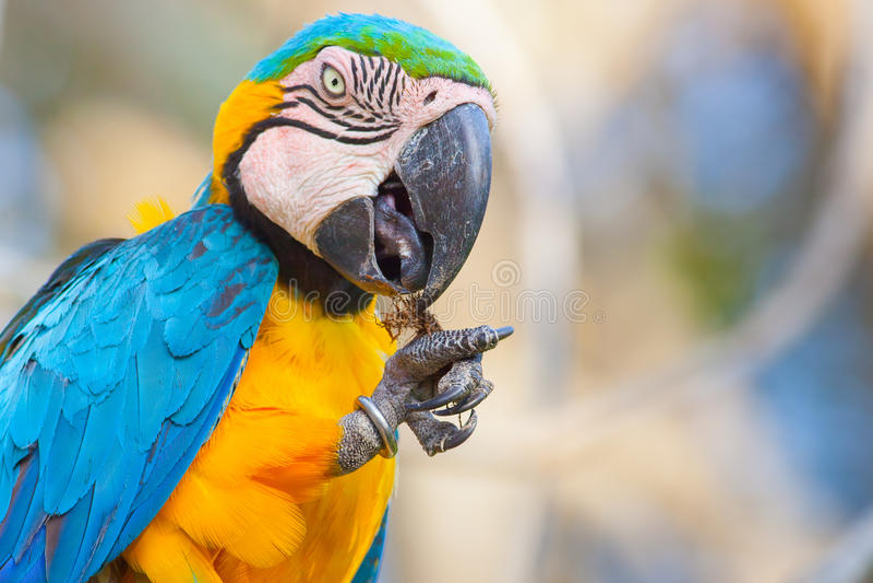 Feeding blue parrot stock images