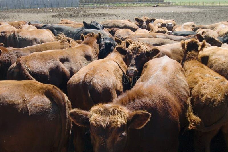 Download Feeding Bunks stock photo. Image of alberta, bunk, canada - 468424