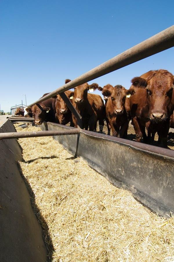 Download Feeding Bunks stock photo. Image of prairie, curious, manitoba - 468472