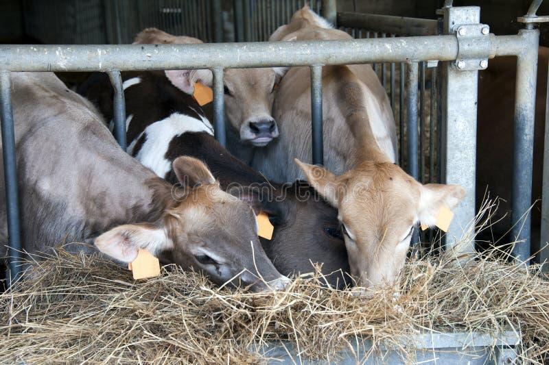 Feeding calves stock photo