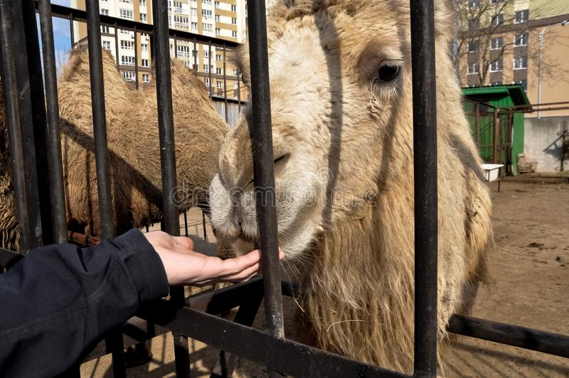 Feeding camel in azoo. hand feeding a camel at the zoo royalty free stock images
