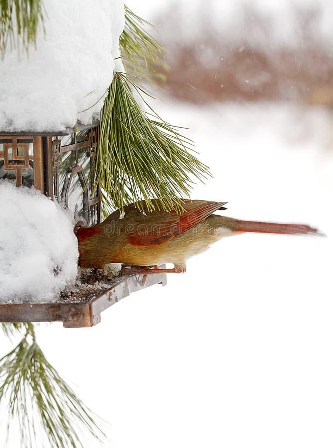 Feeding cardinal rouge féminin après tempête de neige photo stock