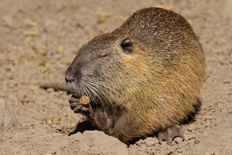 Download Feeding Coipo stock photo. Image of wildlife, america - 26110668