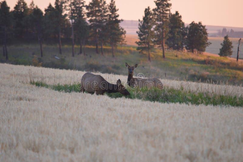 Feeding cow elk royalty free stock image